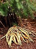 100 Samen Asparagus racemosus, Shatavari, wilder indischer Spargel, winterhart