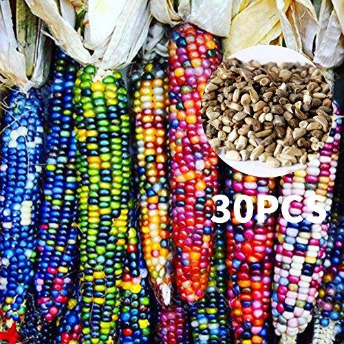 Rosepoem Indischer Mais Samen 30 Stück Mais-Samen Regenbogen-Mais-Samen