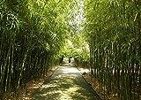 Riesen Zierbambus/ca.50 Samen/Sturmschutz / Tropischer Flair zu Hause