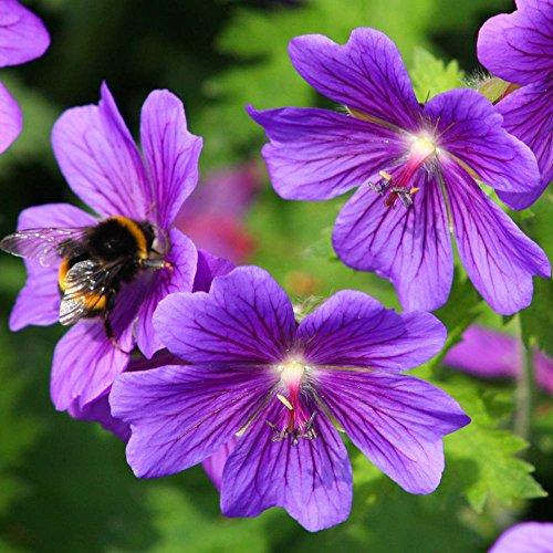 Storchenschnabel blau - 3 pflanzen