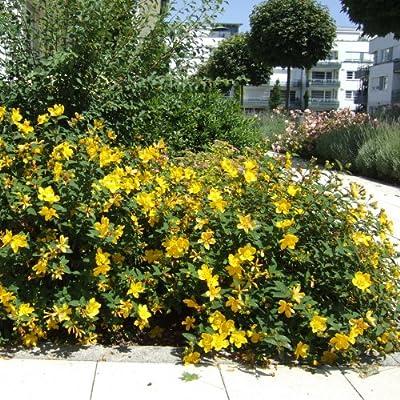Teppich- Johanniskraut (Hypericum calycinum ROSE OF SHARON) von Lichtnelke Pflanzenversand auf Du und dein Garten