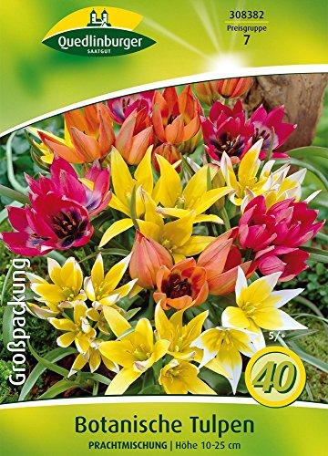 Quedlinburger 308382 Botanische Tulpe Prachtmischung (Herbstblumenzwiebeln)