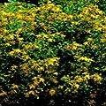 Kräutersamen - Echte Johanniskraut - 1000 Samen von Nuts n' Cones auf Du und dein Garten