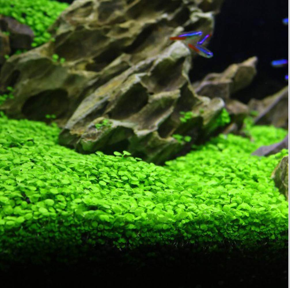 Aquarium Grass Plants Seeds,Aquatic Double Leaf Carpet Water Grass,Oxygenating Weed Live Pond Plant Seeds,Fish Aquatic Water Grass Decor,Easy to Plant Grow Maintain (Green-SDL)