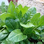 SPINACH - PERPETUAL - 10GM ~ 500 SEEDS