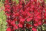 Lobelia Tupa 100 Samen -Winterhart - blutroten tropischen Blumen