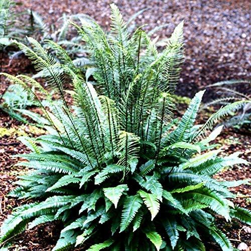 Future Exotics Gartenfarn Blechnum spicant Rippen Farn ist immergrün frosthart, 2 Stück