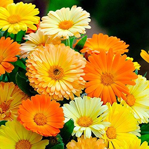 AIMADO Same-50 Pcs Staudenbeet 'Bienen-Magnet' Blumensamen,mehrjährig Winterhart wunderschön Blumen Saatgut Bienenparadies für Garten Balkon