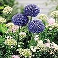 Blaulauch von Meingartenshop - Du und dein Garten