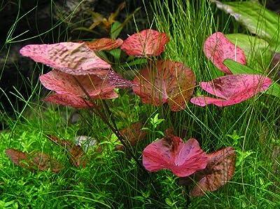 Garnelio - 3 x Tigerlotus - Nymphaea Lotus - Knolle - Aquariumpflanze