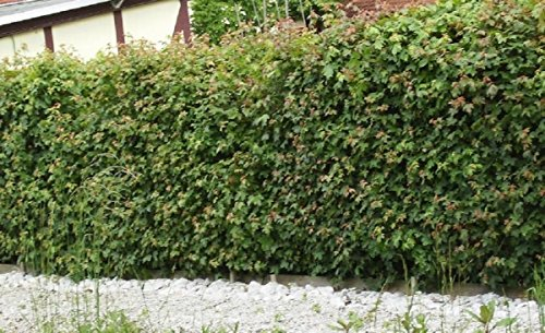 Feldahorn im Topf/Container Größe 100 bis 125 cm