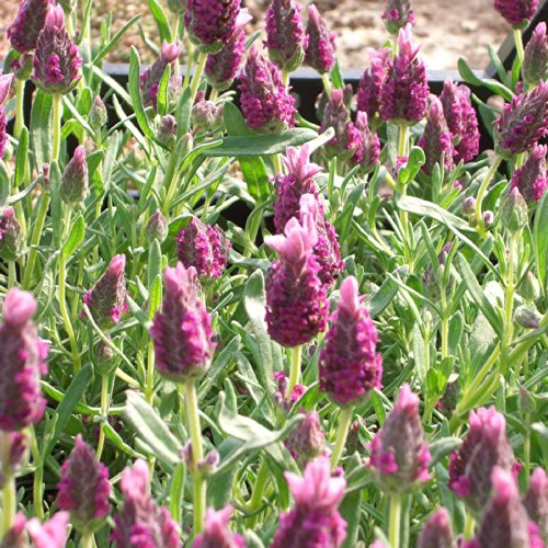 Schopf-Lavendel Violette, angenehm duftende Blüten