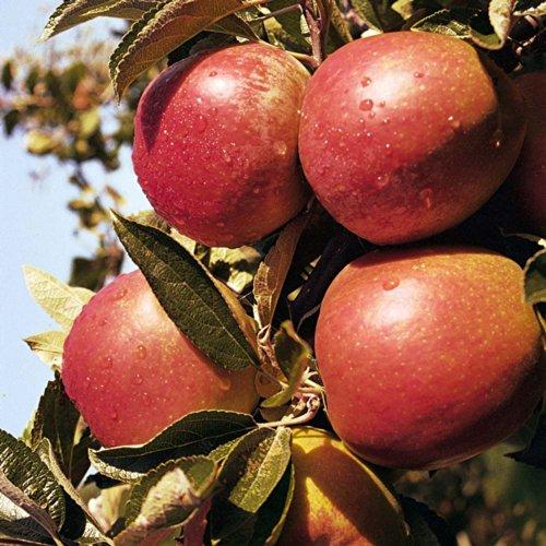 nano-da-giardino-frutta-apple-varieta-braeburn-circa-1-m-di-altezza-