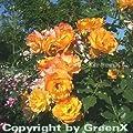 Strauchrose Sahara® 30-60cm von Baumschule bei Du und dein Garten