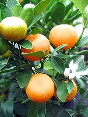 Raj Garden Plants Chinese Calamondin Orange Live Plant
