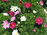 """Cosmos Sonata"" Bedding Plants (Pack of 12)"