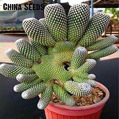 Vente 100 Pcs / Paquet Egg Succulentes Graines Echinopsis tubiflora Cactus Graine rares Plantes Fleur Lithops Pots Planters jardin.