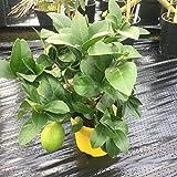 Cross Common Nursery Citrus Lemon 'Meyer'