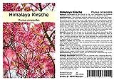 Seedeo® Himalaya Kirsche (Prunus cerasoides) 20 Samen