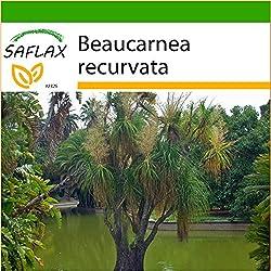 SAFLAX - Elefantenfuß / Flaschenbaum - 10 Samen - Mit Substrat - Beaucarnea recurvata