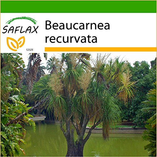 SAFLAX - Elefantenfuß/Flaschenbaum - 10 Samen - Mit Substrat - Beaucarnea recurvata