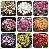 Wekold Bodenbedeckung Chrysantheme Samen - 100 Samen Mehrjährige Daisy Blumensamen Garten