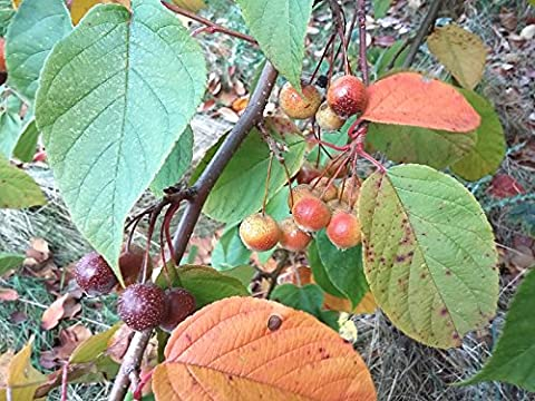 YUNNAN CRAB APPLE Malus yunnanensis in 7cm pot SMALL TREE