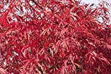 Fächerahorn 'Dissectum Garnet' (Acer palmatum), Ahornbaum winterhart, Ahorn-Baum mit Stamm und Krone im Topf Höhe Stamm 100 cm, Krone 40-50 cm mit roten Blättern