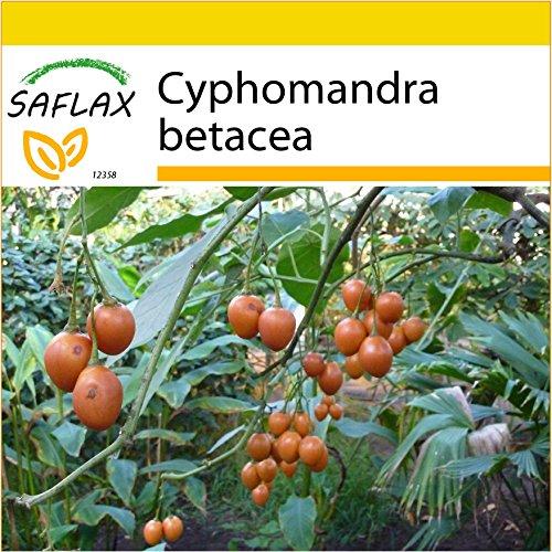 saflax-set-per-la-coltivazione-albero-del-pomodoro-50-semi-cyphomandra-betacea