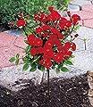 BALDUR-Garten Mini-Stammrose Rot,1 Pflanze von Baldur-Garten - Du und dein Garten