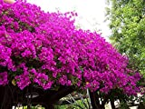 #6: advancedestore Rare Climbing Bougainvillea Amazing Beautiful bougainvillea Live Plant (Pink)
