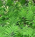 Shoopy Star 200 Sensitive Bead Fern Onoclea sensibilis Sporenkerne Sonne oder Schatten von Generic auf Gartenmöbel von Du und Dein Garten