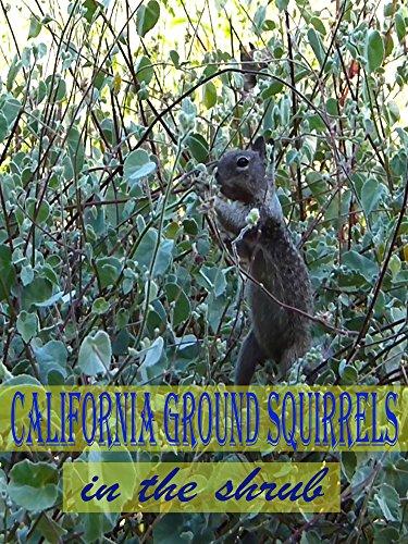 clip-california-ground-squirrels-in-the-shrub