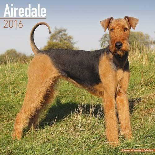 Airedale Calendar 2016 (Square) (Squre Stapled)
