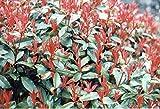Jean Huchet Plantes - Photinia Red Robin Lot de 15 Plantes pour Haie 32986