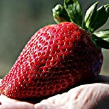 Cioler 50Pcs fragole semi gigante rosso fragola Heirloom Super Seeds Giappone Strawberry Garden (rosso)
