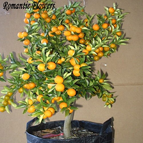 Balcon Patio Potted arbres fruitiers Graines Plantées, Graines Kumquat, Orange Seeds, Tangerine, Citrus - 50 particules / Sac