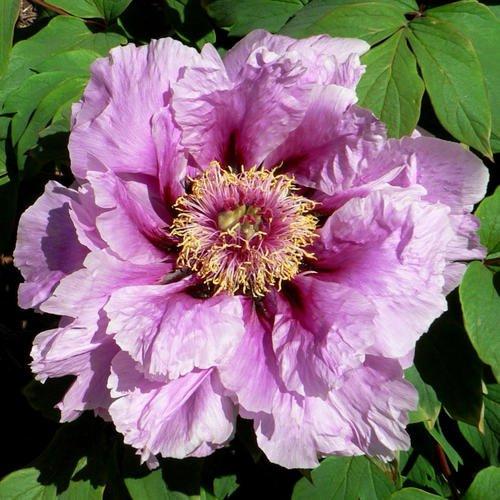 10 pcs / sac graines de pivoines Terrasse Cour Jardin Paeonia Suffruticosa Graines de fleurs vivaces plantes en pot pour le jardin de la maison 12