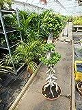Blumen Senf Bonsai Ficus microcarpa Ginseng 140 cm Chinesische Feige