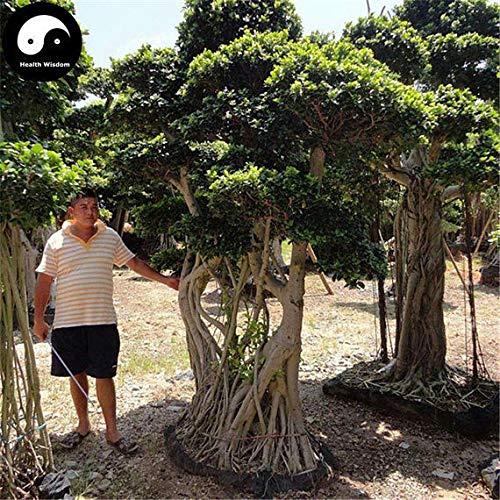 PLAT FIRM KEIM SEEDS: 50pcs: Kaufen Ficus Concinna Baumsamen Pflanze Ficus benjamina Baum Xiao Ye Rong