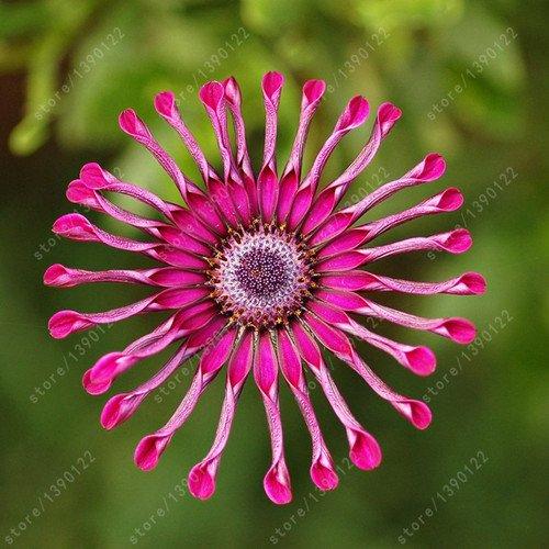 100pcs / bag Osteospermum Samen, Gänseblümchen-Samen, osteospermum Blumen, 8 Farben, Bonsai Blumensamen, Natur Topfpflanze für Hausgarten