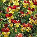 Hornveilchen Jackanapes - Viola cornuta von Baumschulen - Du und dein Garten