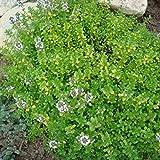 2000 Samen Echter Thymian – Thymus vulgaris, mehrjährig