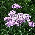 Schafgarbe ( Achillea 'Tutti Frutti WONDERFUL WAMPEE ') von Lichtnelke Pflanzenversand bei Du und dein Garten