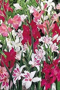 """Collezione Gladioli """"Nanus"""" - Mix di Colori (100 bulbi di Gladiolo) - Bulbi da fiore / fiori da giardino - SPEDIZIONE GRATUITA"""