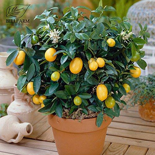 Pinkdose Bellfarm Bonsai ovale nana gialla limone coperta fai da te Bonsai Casa Giardino Smell Alte -20pcs Germinazione/pack