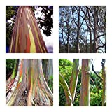 Regenbogenbaum - Eucalyptus deglupta - 10 Samen **Einzigartiges Farbspektakel**