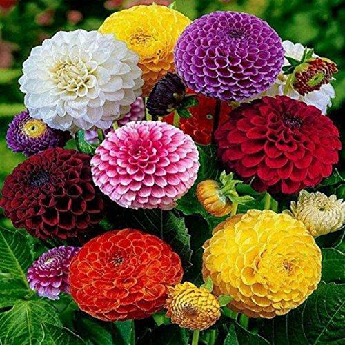 KAYI Zinnia Graines Fleur Coloré Mixte 200 Pièces Maison Jardin Bonsaï Balcon Ornemental