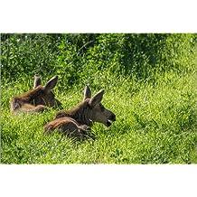 Cuadro sobre lienzo 30 x 20 cm: Two young Moose, Alces alces, calves sit in the grass in Denali National Park. de Erika Skogg / National Geographic - cuadro terminado, cuadro sobre bastidor, lámina...