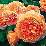 David Austin-Rose 'Crown Princess Margareta®' - Apricot-Rosa Blüten von Juni bis September - Lieferung erfolgt im 5 bis 6 Liter Container - Ein Qualitäts-Produkt von Garten Schlüter